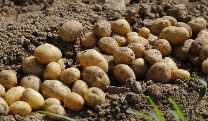 Early variety of potato appears in city markets