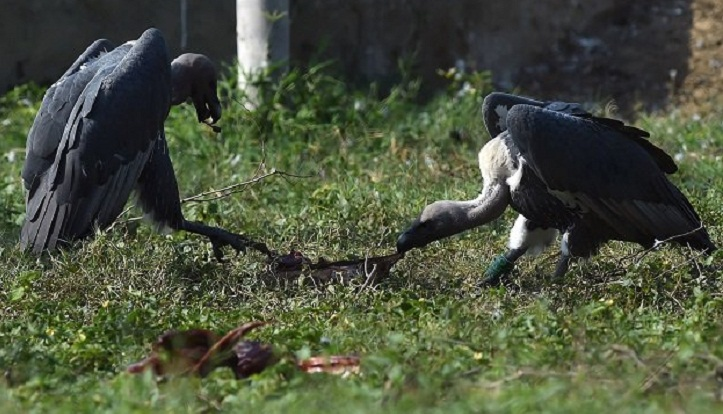 Unloved vultures fight for their survival in Pakistan