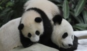 Panda diplomacy: Sad farewell as Malaysia-born panda heads to China