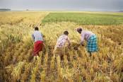 Farmers busy in harvesting Aman paddy in Rajshahi