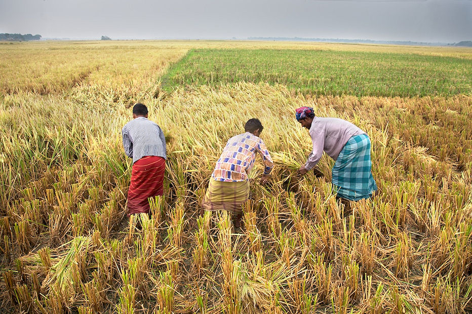 Farmers busy in harvesting Aman paddy in Rajshahi