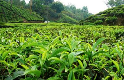 Tea export fetched Tk 36 crore in last fiscal: Tofail