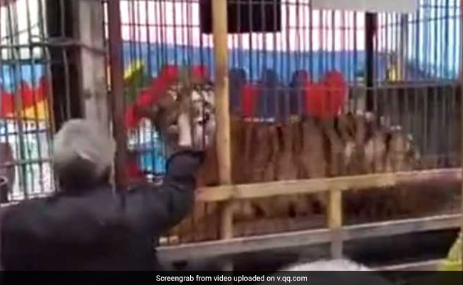 Chinese man tries to feed banknotes to tiger; loses fingers (Video)
