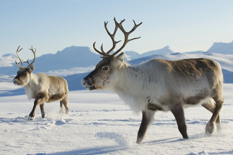 106 Norwegian reindeer killed by freight trains in 3 days