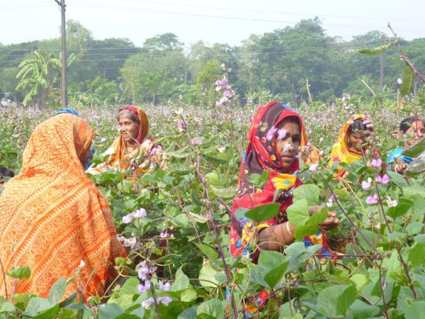Bean farming gets momentum in Narsingdi