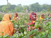 Bean farming gets momentum in Narsingdi