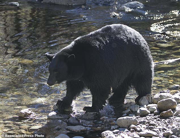 Almost a century later over 500 black bears return to Nevada