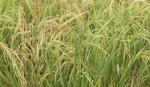 Boro production target set at 32-lakh tonnes in Rangpur region