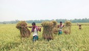 Farmers are carrying home harvested Aman paddy