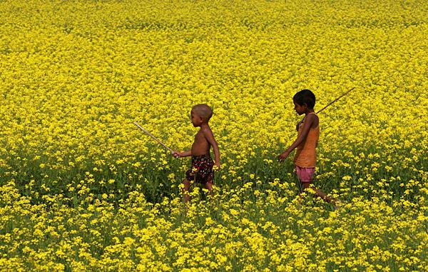 Mustard cultivation in Jamalpur
