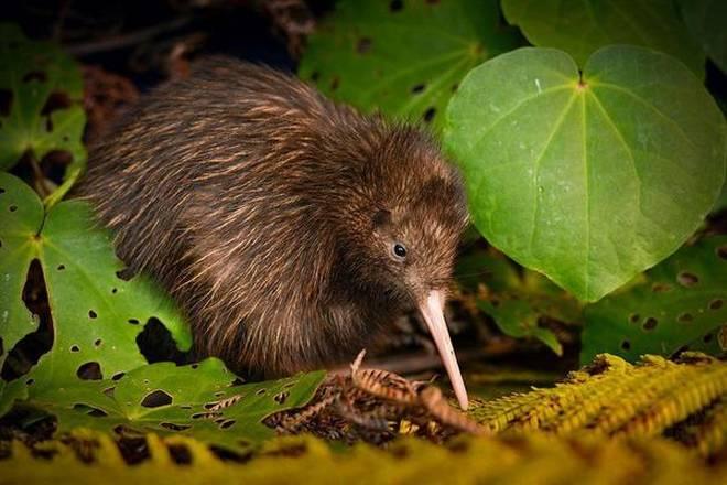 2 kiwi birds are rare bright spot in grim extinction report
