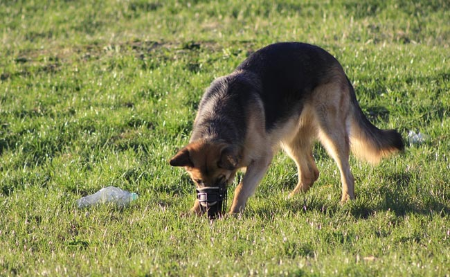 Australian dogs trained to sniff out endangered species