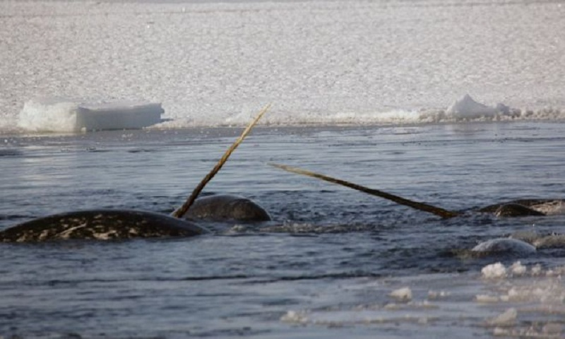Narwhal escape: Whales freeze and flee when frightened