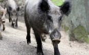 Wild boars charge into Japanese school, disrupt exams, take a dip in pool