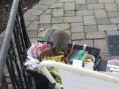 Obese squirrel caught stealing gourmet chocolate and lip balm (Video)
