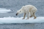 Emotional video of starving polar bear shows climate change impact (Video)