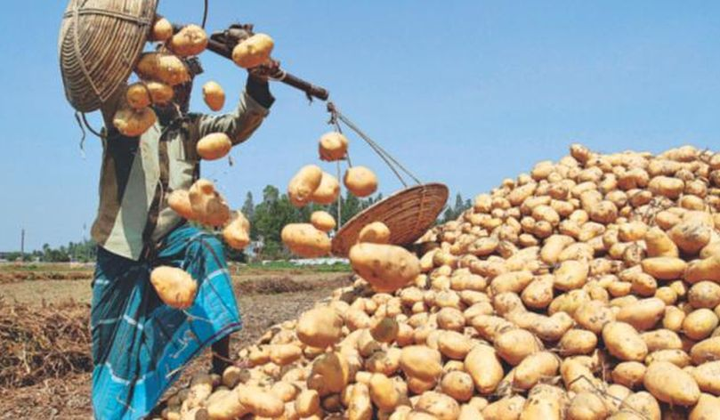 Fungi-resistant potato to save farmers Tk. 100 crore a year