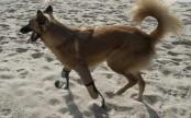 'Blade runner' legs give maimed Thai dog new lease on life (Photos)