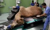 Dubai opens $10 million camel hospital