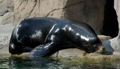 Ouch! Sea lions attack swimmers in San Francisco Bay