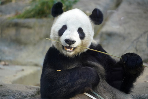 Tokyo's baby panda appears before selected guests, media