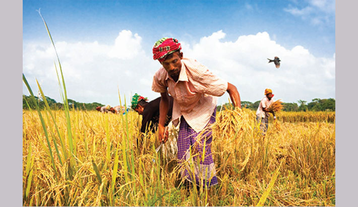 Rangpur farmers see all-time record Aman yield