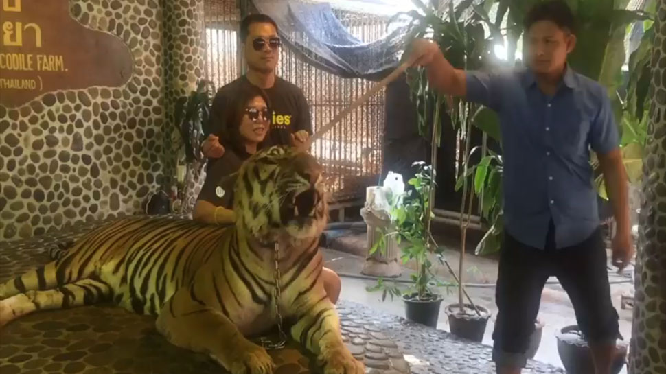 Outrage after tiger forced to roar for tourists at Thai Zoo (Video)