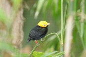 Scientists discover first known hybrid bird species in the Amazon rainforest
