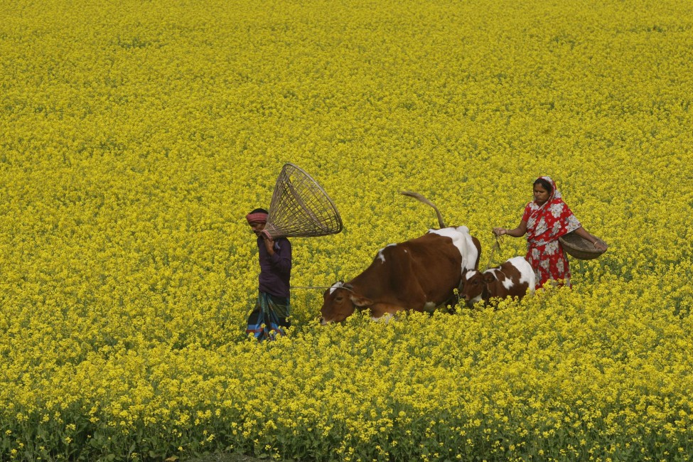 Mustard fields wear eye catching looks in Gaibandha