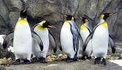 It's so cold in Canada now that even the penguins can't take it any more