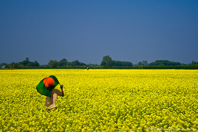 High yielding BARI mustard makes farmers happy, helps cut import