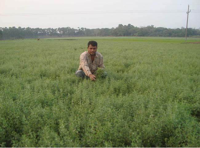 Lentil farming on rise in Rajshahi region