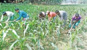 Farmers are busy taking care of maize seedlings