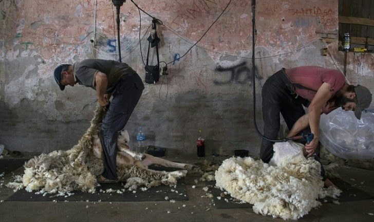 Uruguayan wool coveted by European manufacturers