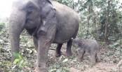Elephant born at Bangabandhu Sheikh Mujib Safari Park in Gazipur