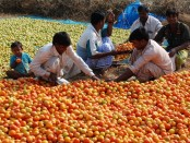 Tomato cultivation changes farmers' lifestyle in Rajshahi