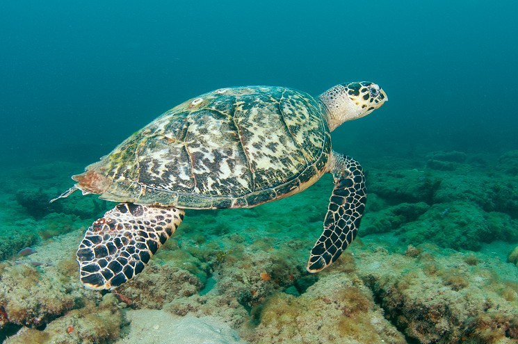 Climate change turning world's largest sea turtle populations female: Study
