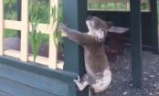Koala screwed to post sparks anger in Australia