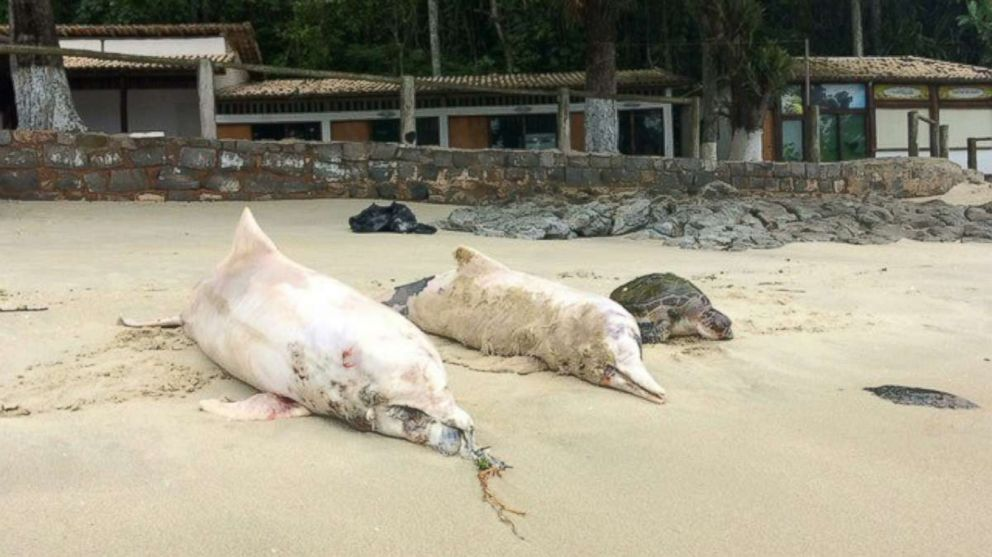 Scientists: Virus cause of over 170 dolphin deaths in Brazil