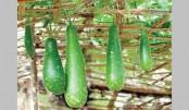 Bottle gourd farming boon for Narsingdi farmers