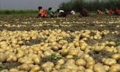 Bumper potato production likely in Jamalpur