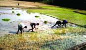 Massive programme to cultivate Boro in Nilphamari