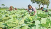 Bumper winter vegetable production likely in Rangpur region