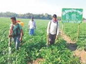 Growers eye good potato yield in Rajshahi region