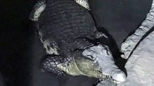 Russian police on trail of weapons cache find crocodile
