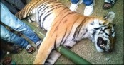 Royal Bengal Tiger beaten dead in Bagerhat