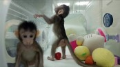 First monkey clones created in Chinese laboratory