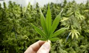 Marijuana use may not affect fertility