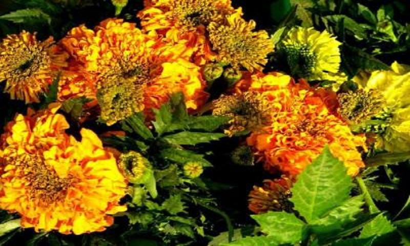 3-day flower fair from Friday in Rajshahi