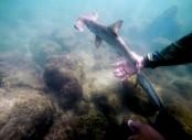 In the Galapagos, an idyllic hammerhead shark nursery